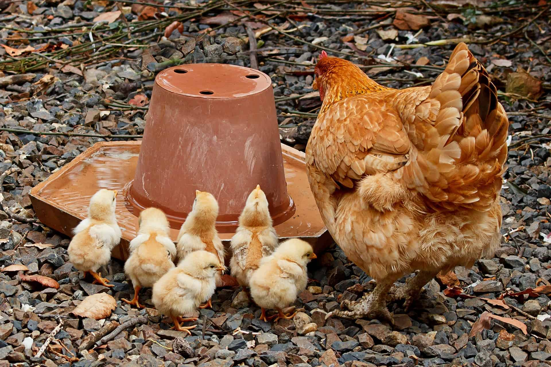 How Backyard Chickens Changed Our Lives For The Better | By